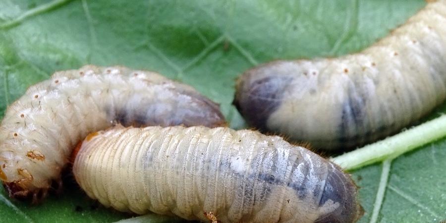 Covid-19: UE prepara-se para aprovar insectos comestíveis em altura de pandemia